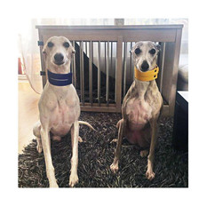Whippets from Lithuania with our Duo Color block collars in yellow & blue