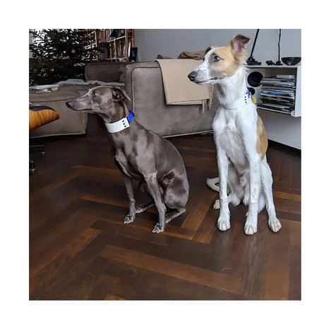 Sighthounds with snow white biothane collar