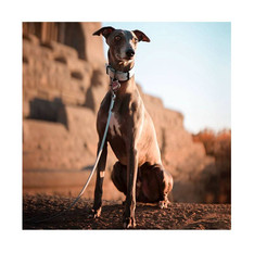 Lenni the whippet with pale blue set