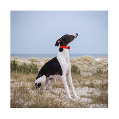 Lenni the whippet with our berry red collar
