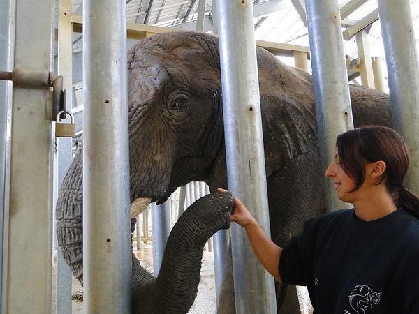 entraîneent médical d'un éléphant d'Afrique
