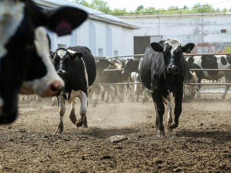 Немного фактов о коровах