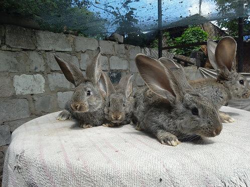 Кролик Ризен (девочка)