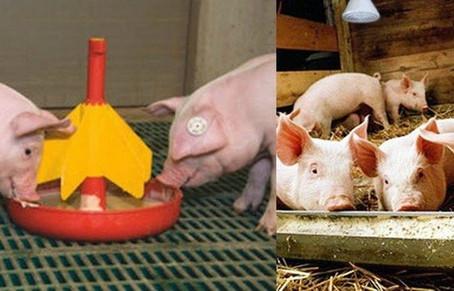 Откорм поросят на мясо в домашних условиях
