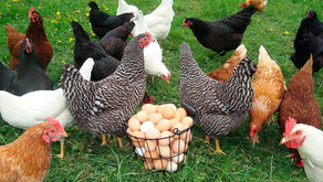 Птица перестала нести яйца?