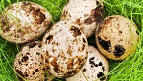 Полезные свойства перепелок и перепелиных яиц
