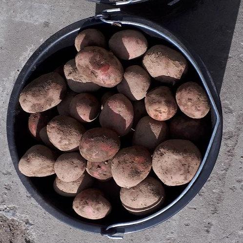 Картофель. Сорт Ред Скарлет
