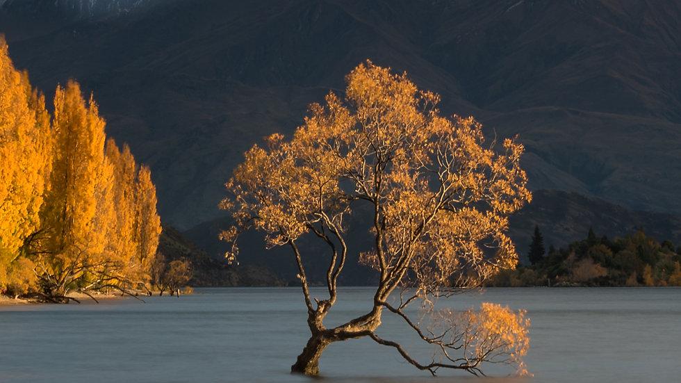 Moody Wanaka Tree