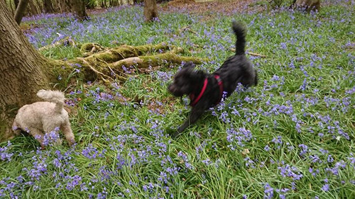 Walking in amongst the bluebells