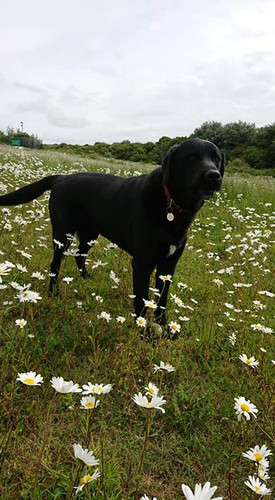 Buster in amongst the Daisy's