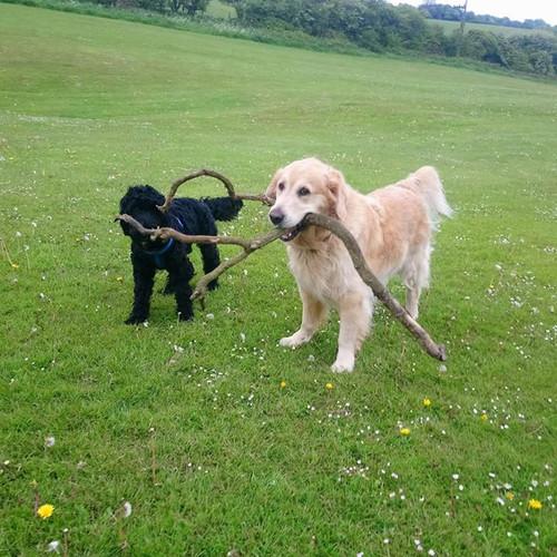 Teddy & Max enjoying stick time