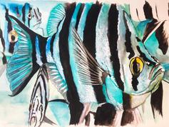Enoplosus Blue