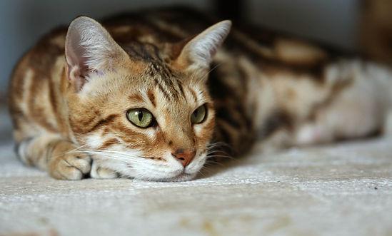 LynxLand Bengal cat
