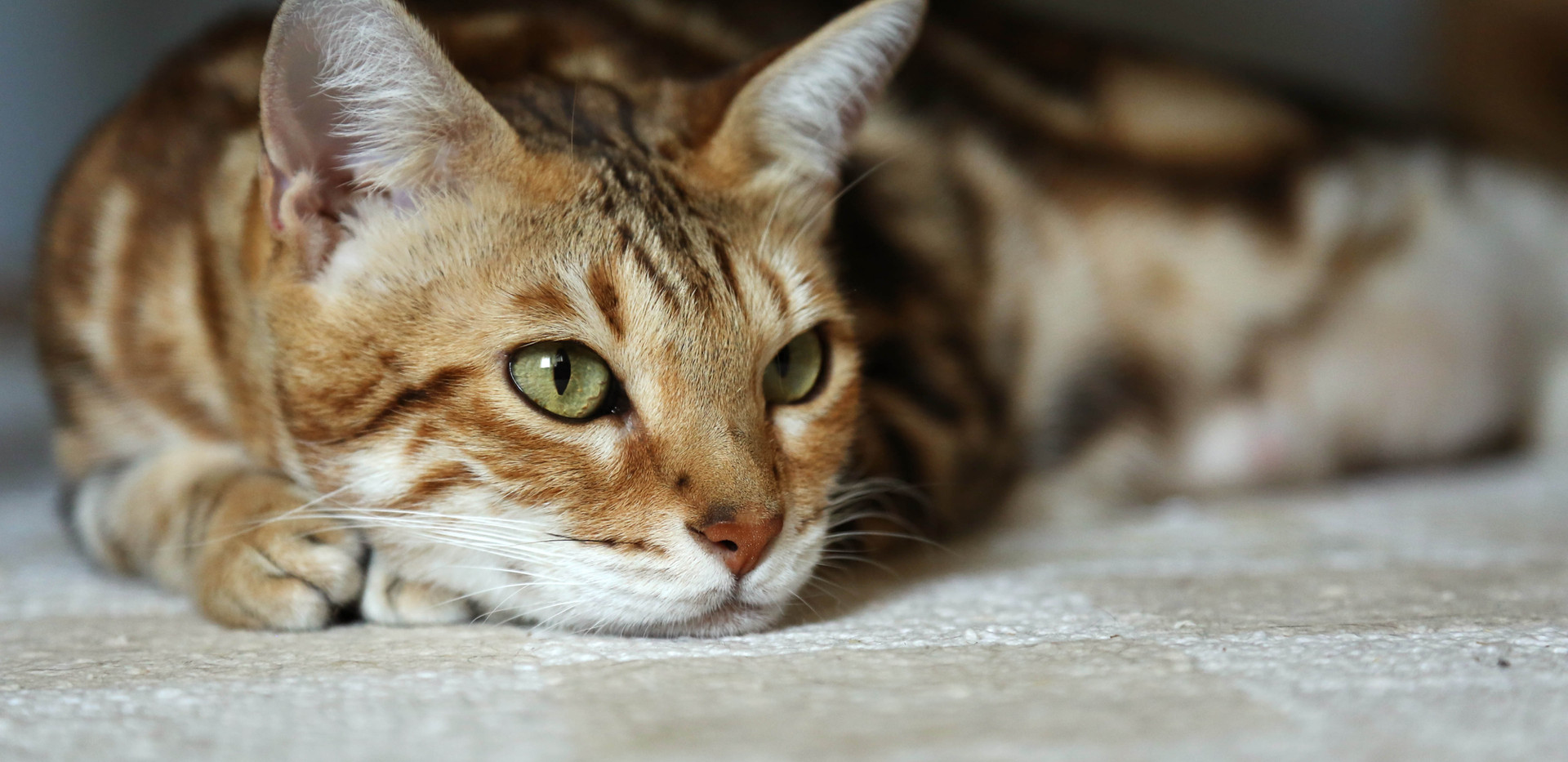 whited bengal cat