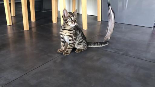 F2 bengal kitten cat  -boy
