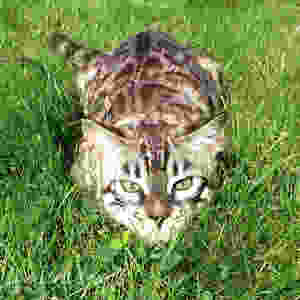 Seal sepia charcoal kočka bengálská