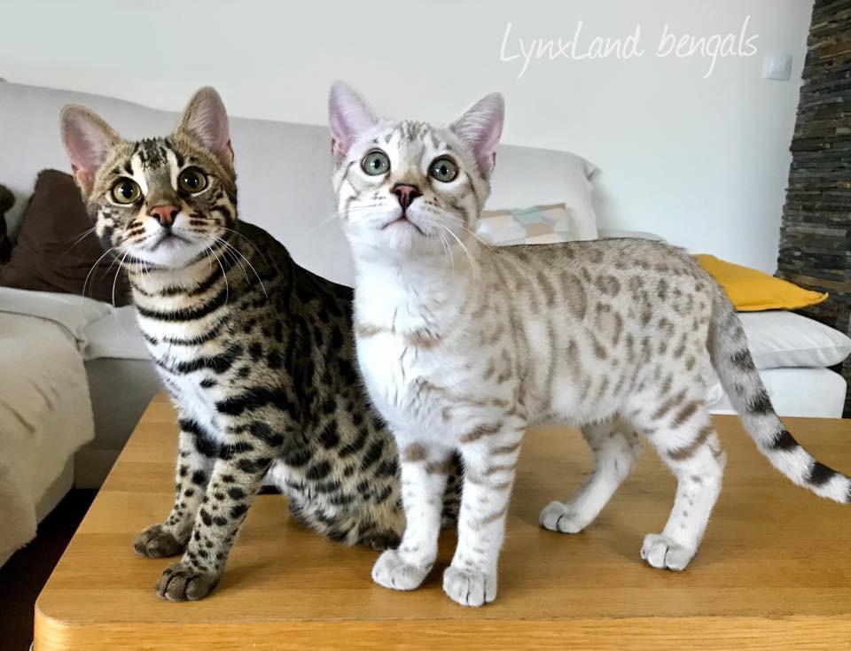 F1 bengal cat and Lynxland Taima