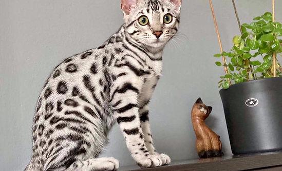 bengal silver cat.jpg