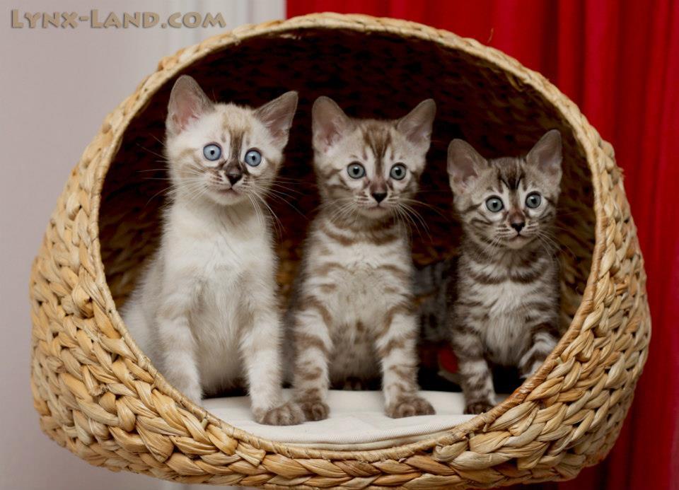 charcoal bengal kittens.jpg