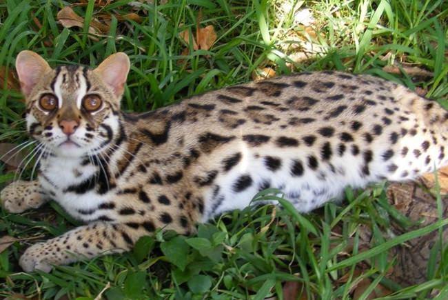 asian leopard cat  Prionailurus bengalensis