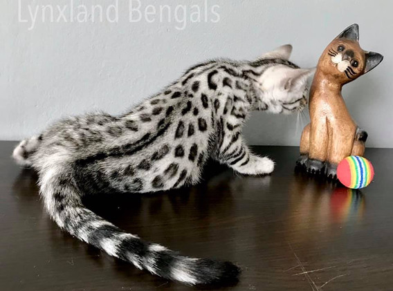 Bengal cat - silver rosetted