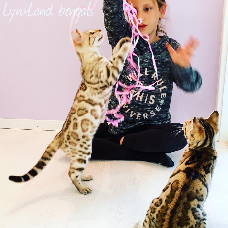 bengal kittens , koťata kočky bengáslké