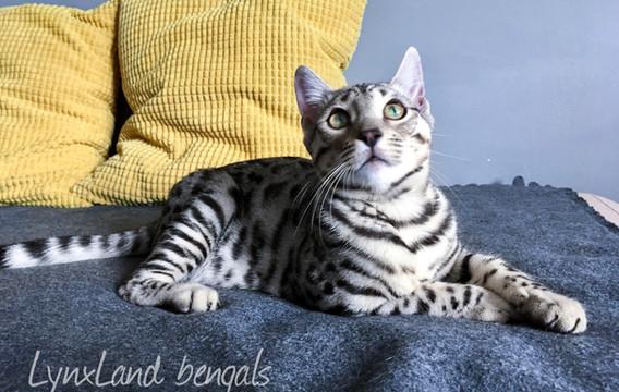 kočka bengálská silver