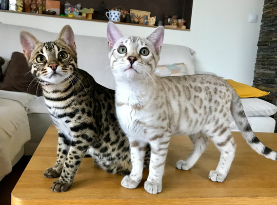 Foundation Bengal Cat