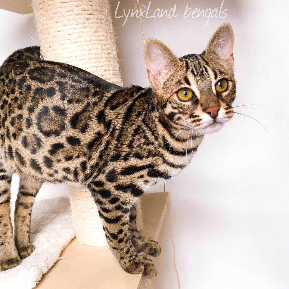 F1 bengal cat - foundation bengal