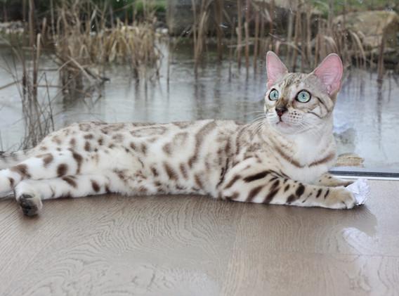 snow mink bengal cat