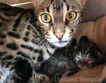 F2 bengal cat