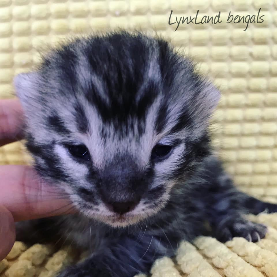 Silver charcoal bengal kitten 2weeks old