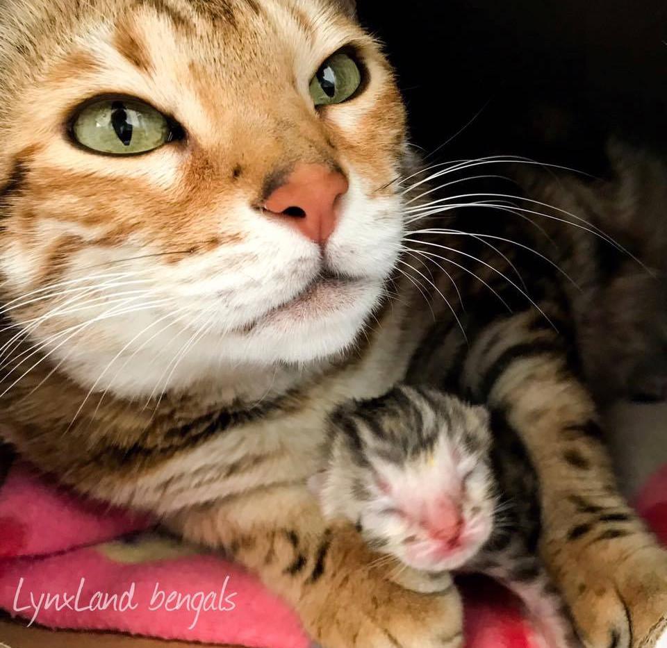 bengálská kočka.jpg