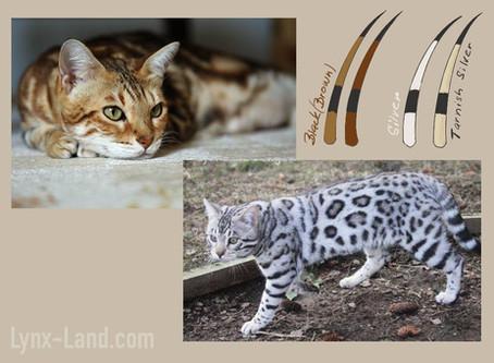 Silver bengal cat genetic