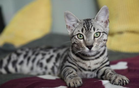 kočka bengálská stříbro