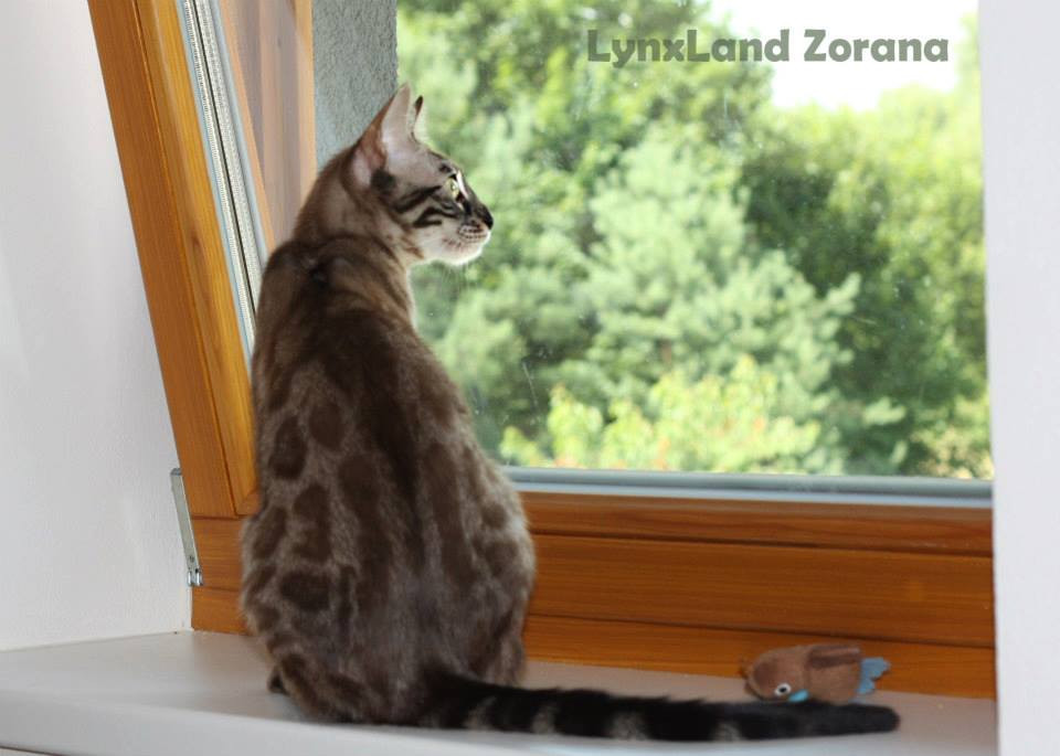 kočka bengálská charcoal lynxland Zorana