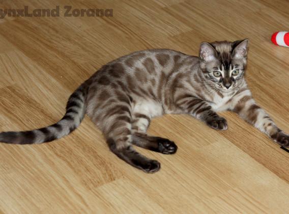 kočka bengálská charcoal