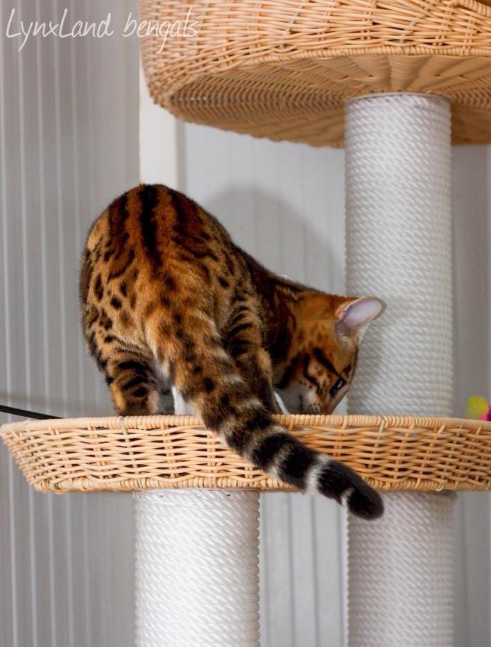 BENGAL CAT TAIL.jpg