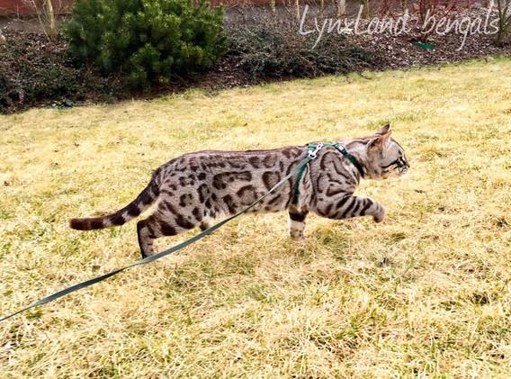 charcoal sepia bengal cat
