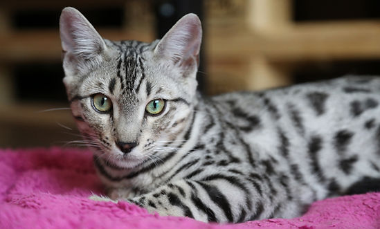 silver bengal