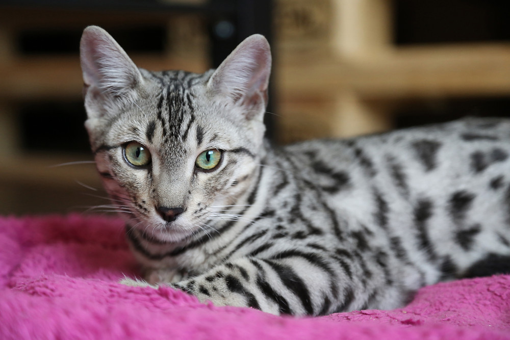 Stříbrná bengáslká kočka
