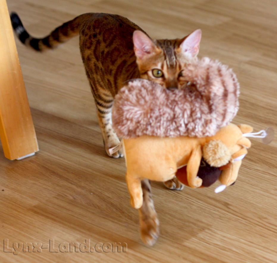 bengáslká kočka aportuje