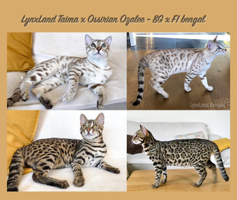 F1 bengal cat for sale