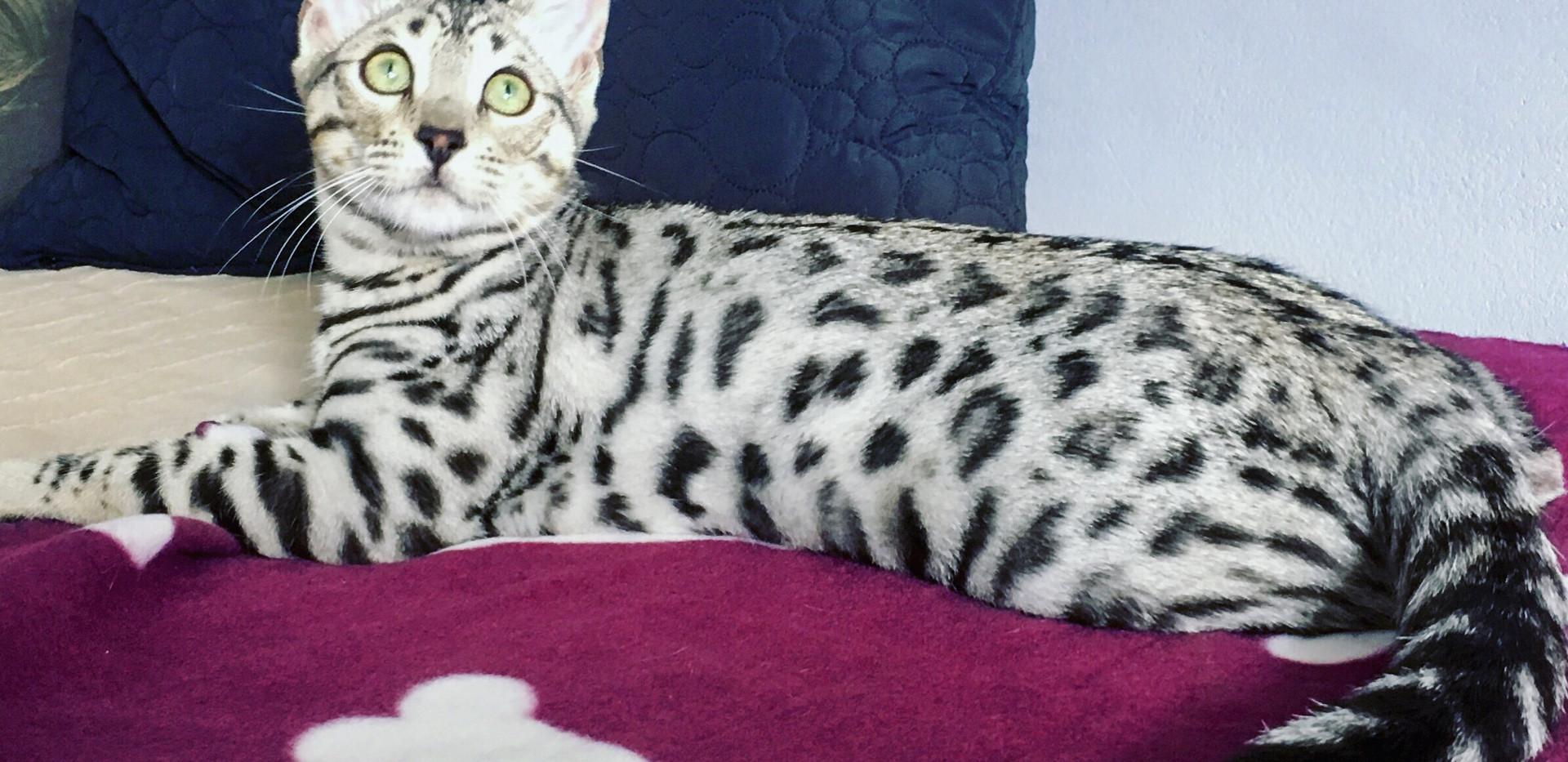 Stříbrná kočka bengálská