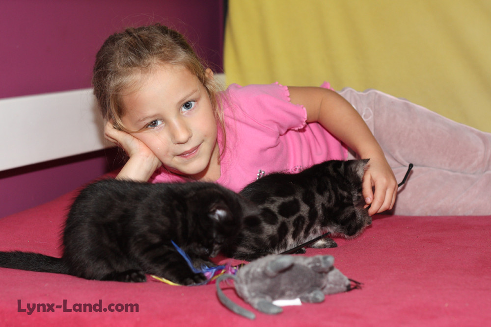 Kočka bengálská – Melanistik a charcoal