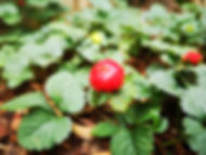 Wild Strawberry Fragaria vesca.jpg