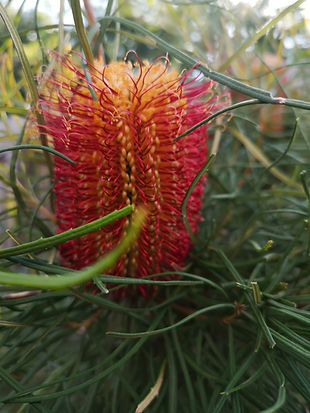 banksia occidentalis3.jpg