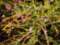 Landscaping Melton thryptomene saxicola.
