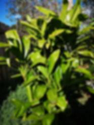 Landscaping Bacchus Marsh Ti Plant cordy