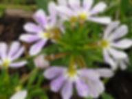 Scaevola white.jpg